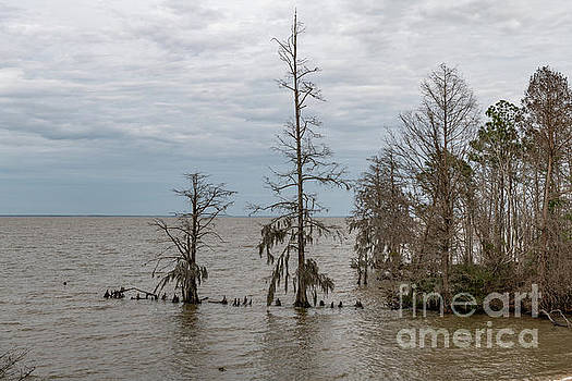 Bald Cypress - Lake Moultrie South Carolina by Dale Powell