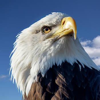 Bald Eagle 2 by Steev Stamford