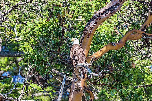 Bald Eagle And The Pacific Marone Tre by Jordan Hill