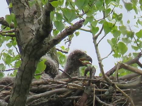 Bald Eagle Chicks by David Bannwart