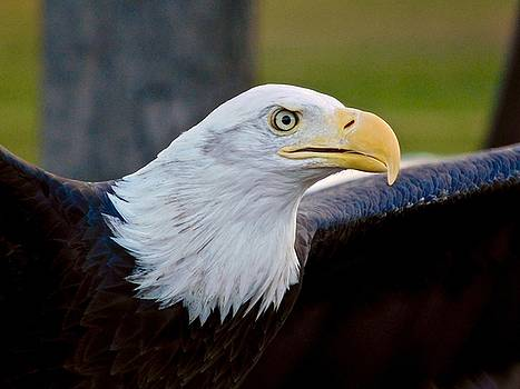 Bald Eagle by Dan Miller