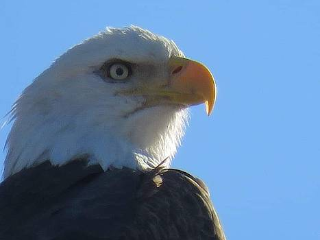 Bald Eagle by David Bannwart
