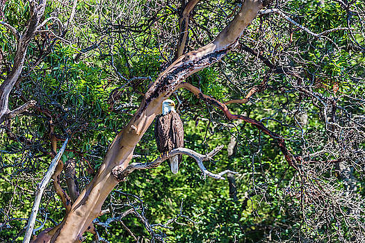 Bald Eagle In A Pacific Madrone Tree by Jordan Hill