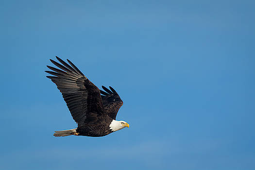 Bald Eagle in the Clear by Scott Bean