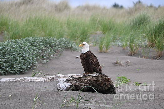 Bald Eagle on Driftwood by Carol Groenen