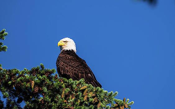 Bald Eagle On Lookout by Jordan Hill