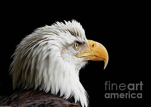Bald Eagle Portrait 6 by Mitch Shindelbower