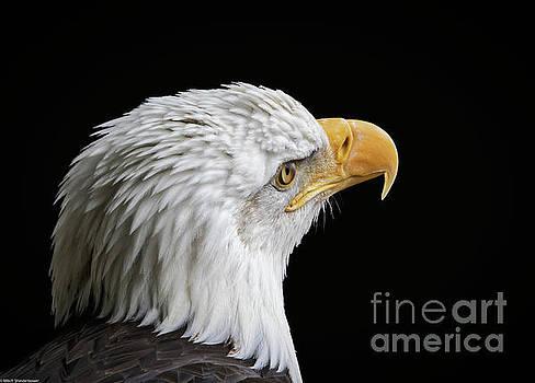 Bald Eagle Portrait 7 by Mitch Shindelbower