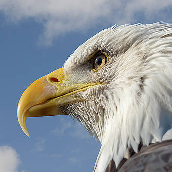Bald Eagle square by Steev Stamford