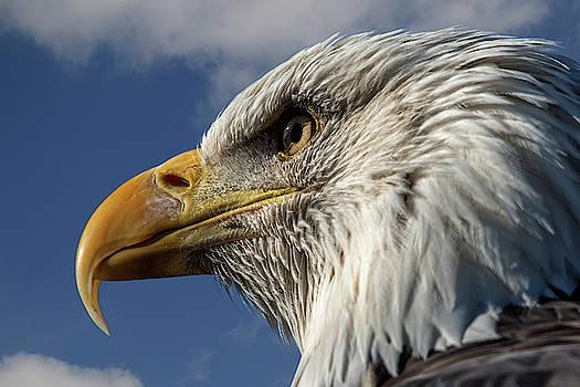 Bald Eagle by Steev Stamford