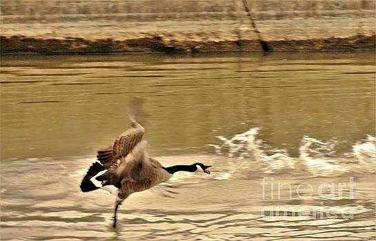 Ballet Goose           Spring          Indiana by Rory Cubel