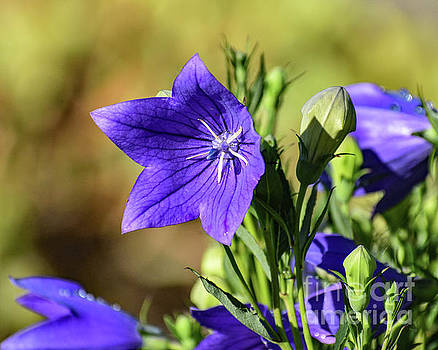 Balloon Flower And Leftover Rain Drops by Cindy Treger