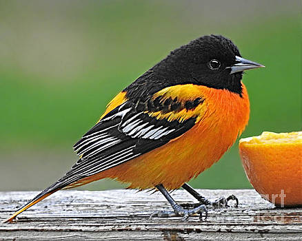 Baltimore Oriole by Kathy M Krause