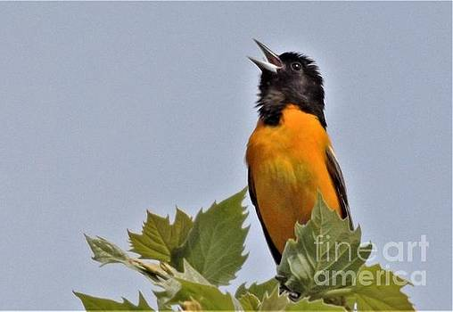 Baltimore Oriole Singing            May           Indiana by Rory Cubel