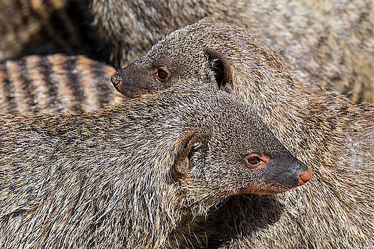 Banded Mongoose Colony by Arterra Picture Library