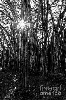 Banyan Sunburst by Mike Dawson