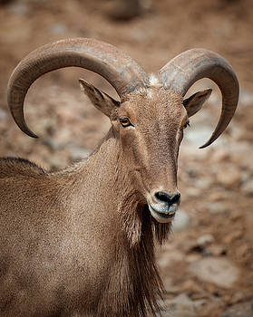 Barbary Sheep Portrait by Gloria Anderson