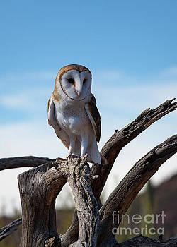 Barn Owl by Jon Vemo