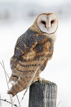 Barn Owl Portrait by Mike Dawson