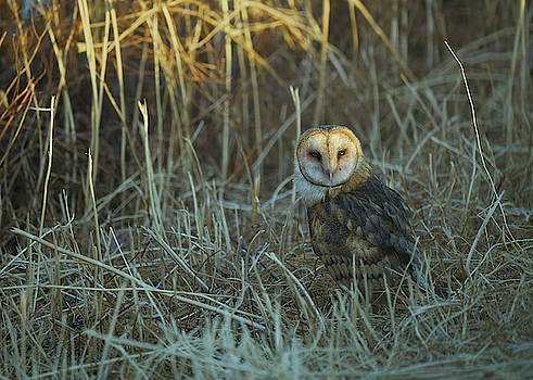 Barn Owl, Yolo County California by Doug Herr