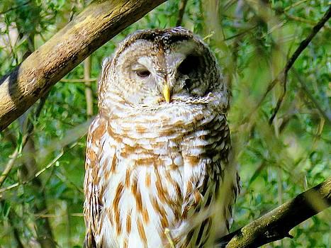 Barred Owl  by David Bannwart