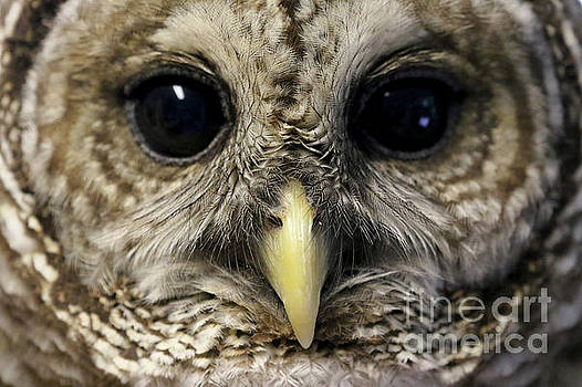 Barred Owl by Meg Rousher