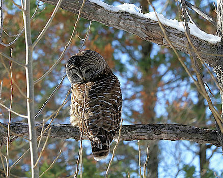 Barred Owl On A Branch by Doris Potter