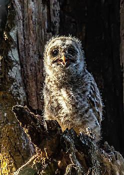 Barred Owlet  by Kelly Kennon