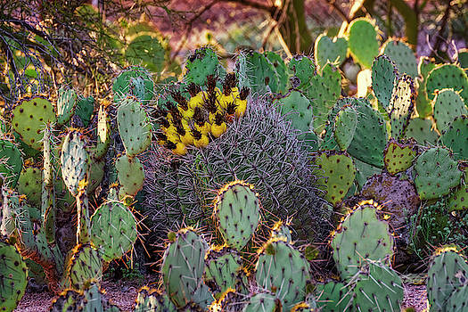 Barrel and Prickly Pears h1947 by Mark Myhaver