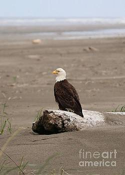 Beach Bald Eagle by Carol Groenen