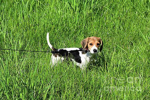 Beagle Puppy Dog on a Leash in a Green Grass Field by DejaVu Designs
