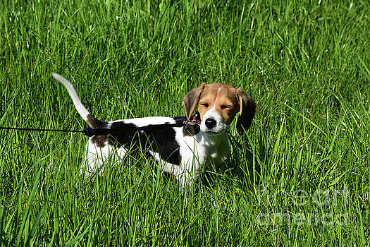 Beagle Puppy Dog with His Eyes Closed in a Grass Field by DejaVu Designs