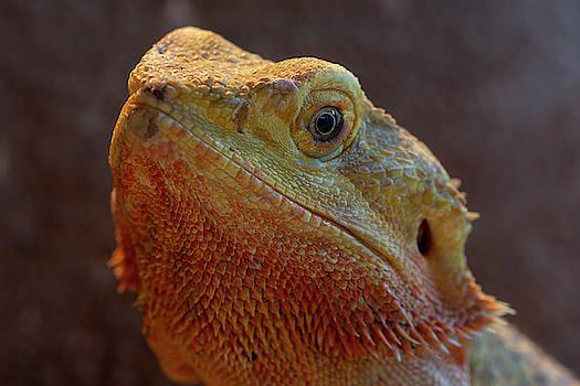 Bearded Dragon 1 by Steev Stamford