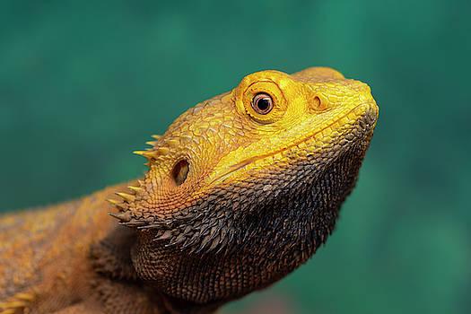 Bearded Dragon 2 by Steev Stamford