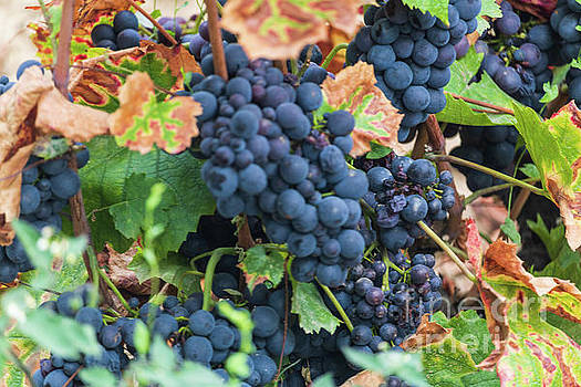 Beaujolais Grapes on the vine III by Thomas Marchessault