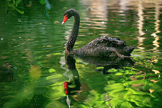Beautiful black swan. by Rob D Imagery