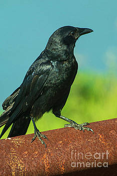 Beautiful Crow by Sharon Mayhak