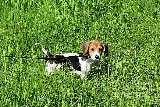Beautiful English Beagle Puppy Dog in a Grass Field by DejaVu Designs