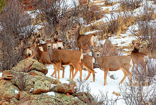 Steve Krull - Beautiful Herd of Deer on Mountainside