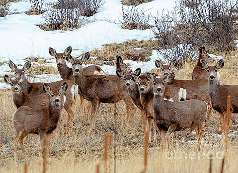 Steve Krull - Beautiful Herd of Mule Deer
