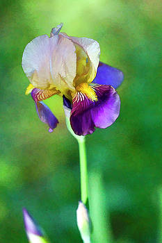 Beautiful Old Time Two Tone Iris  by Kathy Clark