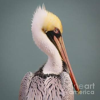 Paulette Thomas - Beautiful Pelican Portrait