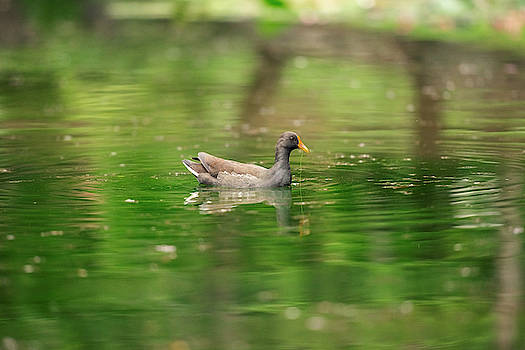 Beautiful Purple Swamphen by Rob D Imagery