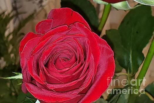 Beautiful Rose by Olga Malamud-Pavlovich