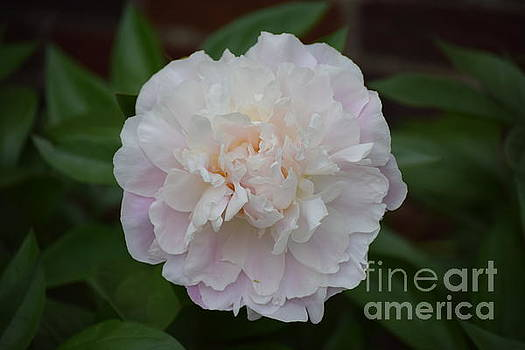 Beautiful Soft Peony by Jeannie Rhode