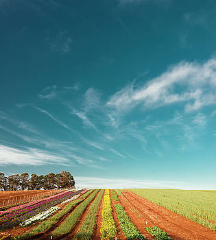 Beautiful tulip farm at the Table Cape in Tasmania. by Rob D