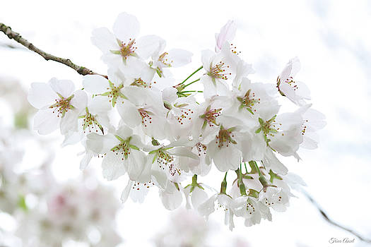 Beautiful White Cherry Blossoms by Trina Ansel