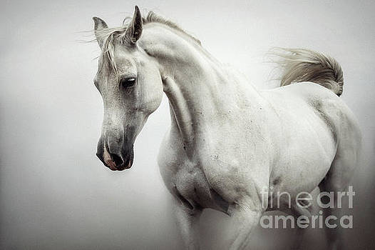 Beautiful White Horse on The White Background by Dimitar Hristov