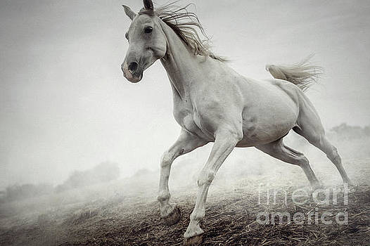 Beautiful White Horse Running in Mist by Dimitar Hristov