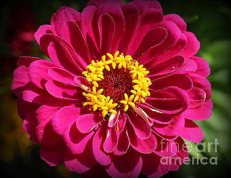 Beauty in the Garden - Pink Zinnia by Dora Sofia Caputo Photographic Design and Fine Art